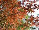 上林红枫谷