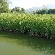 上林第一家原生态巨人稻和鱼共养